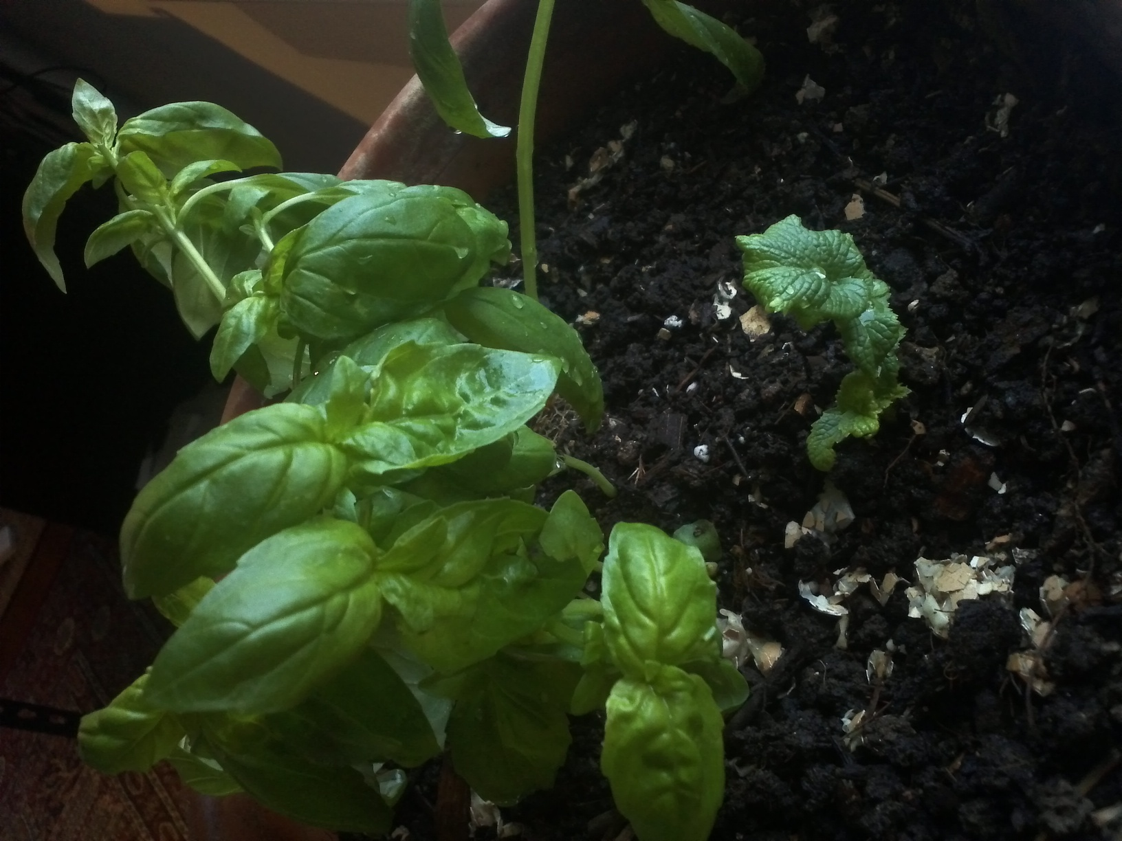 New Basil; side-by-side with radish.